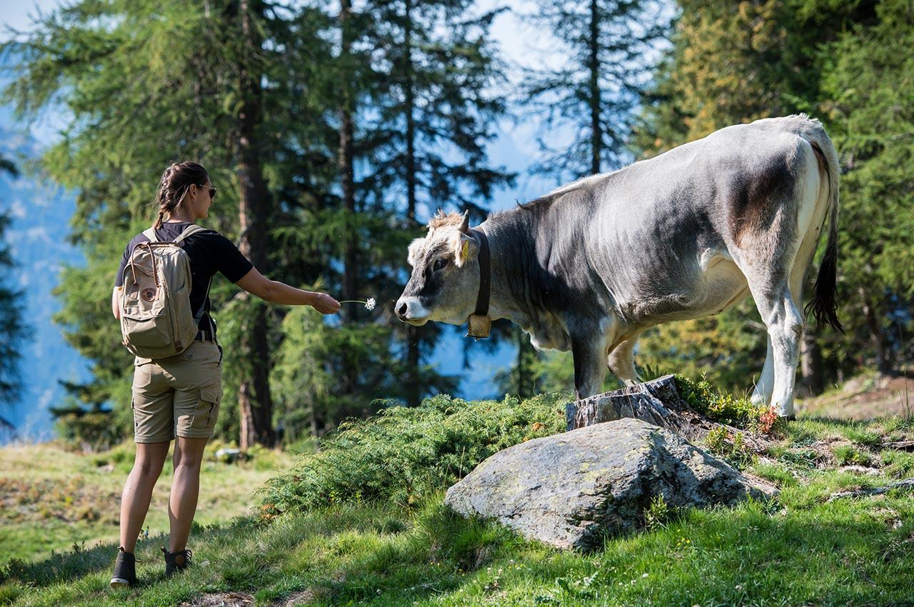 Freilaufende Kühe im Hirzer Wandergebiet oberhalb von Saltaus