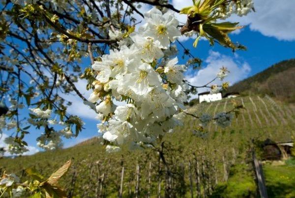 Duftende Apfelblüten rund um Saltaus und dem Passerdamm